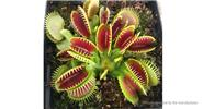 Catchfly Potted Plant Seeds Garden Venus Flytrap Insectivorous Plant (100-Pack)