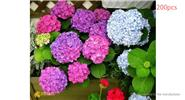 Buy Mixed Hydrangea Flower Seeds Home Garden Decor (200-Pack), Mixed Hydrangea, 200-Pack for $1.41 in Fasttech store