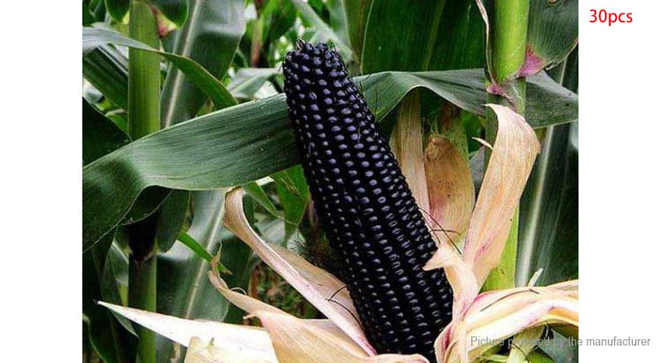 Black Fruit Waxy Corn Seeds Garden Vegetable Plants (30-Pack) Black Waxy Corn, 30-Pack