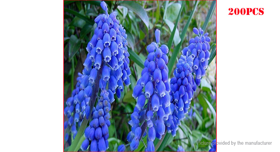 Royal Hyacinth Flower Seed Garden Bonsai Potted Blooming Plant (200-Pack)