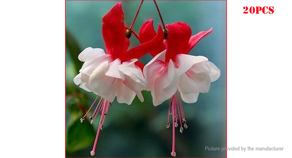Red Fuchsia Lantern Flower Seeds Garden Balcony Begonia Bell Pot (20-Pack)