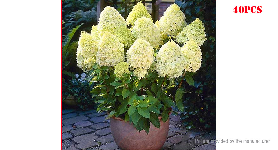 Yellow Hydrangea Flower Seeds Garden Bonsai Potted Plant (40-Pack)