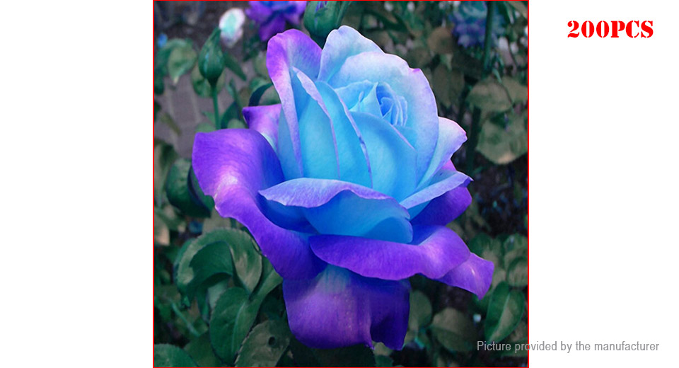 Purple Egrow Midnight Supreme Rose Seeds Potted Flower Seeds (200-Pack)