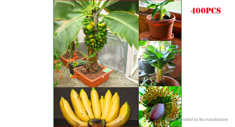 Dwarf Banana Seeds Bonsai Tree Tropical Fruit Seeds (400-Pack)