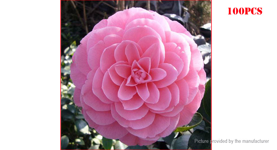 5 50 Light Pink Egrow Camellia Flower Seeds Garden Potted Plant 100 Pack 10 At