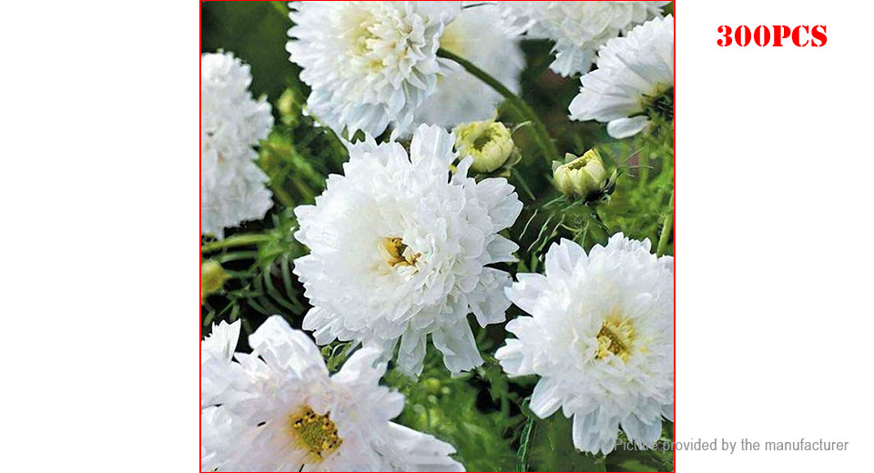 White Egrow Chrysanthemum Seeds Double Cosmos Perennial Bonsai Plant