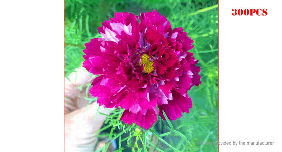 Rose Egrow Chrysanthemum Seeds Double Cosmos Perennial Bonsai Plant