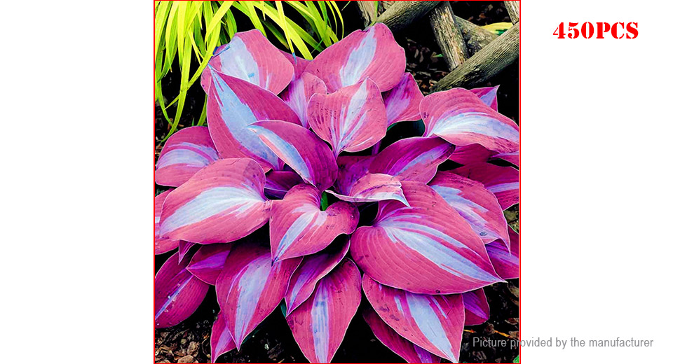 Purple Egrow Hosta Flower Seeds Garden Perennial Ornamental Plants (450-Pack)
