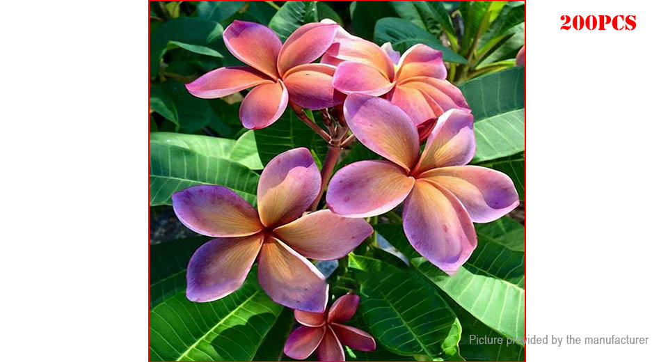 Violet Egrow Plumeria Seeds Hawaiian Frangipani Flower Seeds (200-Pack)