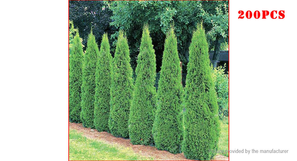 Cypress Tree Seeds Perennial Courtyard Conifer Bonsai DIY Home Garden Plant (200-Pack)