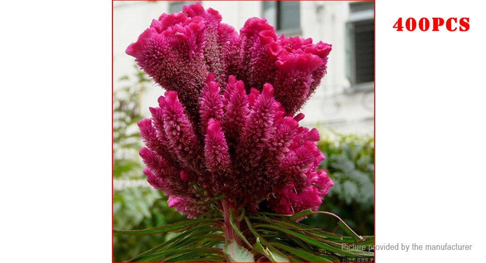 Cockscomb Seeds Rose Red Pteris Celosia Spicata Bonsai Flower Potted Plant (400-Pack)