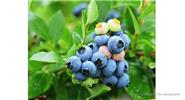 Indoor / Outdoor Bonsai Plant Blueberry Seeds (30-Pack)