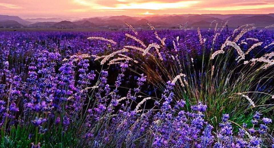 Lavender Herb Flower Seeds Aromatic Garden Plant (500-Pack)