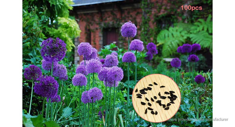 Product Image: allium-giganteum-seeds-purple-plant-diy-home