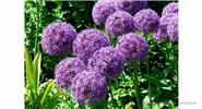 Allium Giganteum Seeds Purple Plant DIY Home Garden (100-Pack)