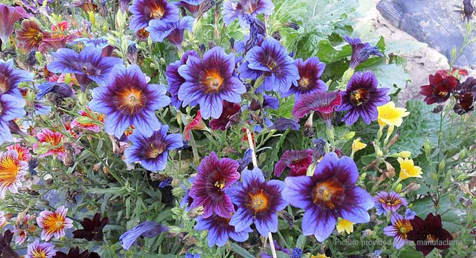 Chile Salpiglossis Sinuate Seed Morning Glory Seeds (150-Pack)