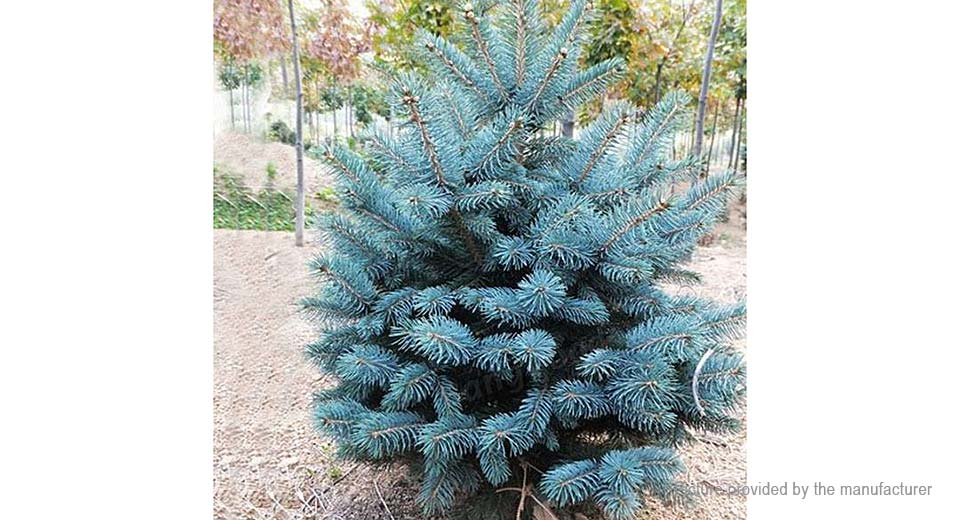 Colorado Blue Spruce Tree Seeds Picea pungens Fir Plant (30-Pack)