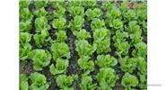 Iceberg Lettuce Seeds Lactuca Sativa Vegetable (200-Pack)