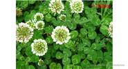 Four Leaf Clover Lucky Plants Yellow Flower Seeds (100-Pack)