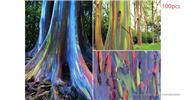 Eucalyptus Deglupta Rainbow Tree, 100-Pack