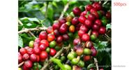 DIY Garden Kona Coffee Bean Seeds Awesome Easy to Grow (500-Pack)