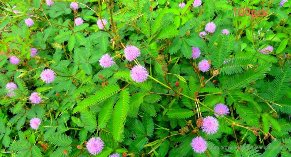 $1 15 Herb Sensitive Pink Moving Hostilis Mimosa Pudica Seeds Plant  (100-Pack) at FastTech - Worldwide Free Shipping