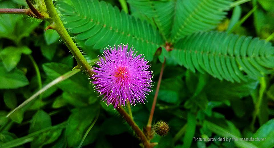 herb sensitive pink moving hostilis mimosa pudica seeds plant 100 pack at fasttech. Black Bedroom Furniture Sets. Home Design Ideas