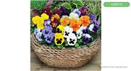 DIY Butterfly Pansy Giant Flower Seeds Mix (100-Pack)