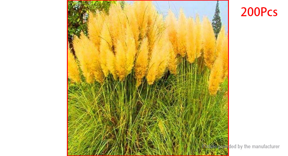 Potted yellow pampas grass garden ornamental plants for Yellow ornamental grass