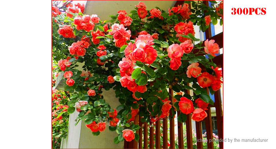 Red Rose Perfume Rainbow Climbing Plant Rock Cress Flower Seeds 300 Pack