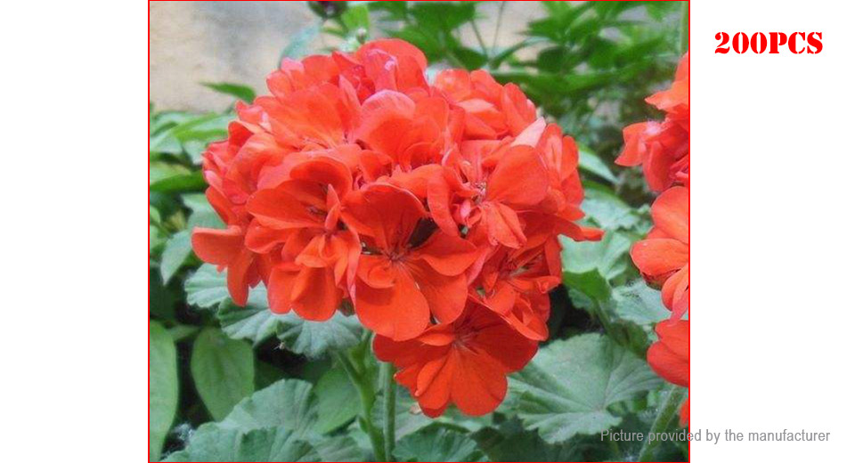 Red Egrow Univalve Geranium Seeds Perennial Pelargonium Seeds (200-Pack)