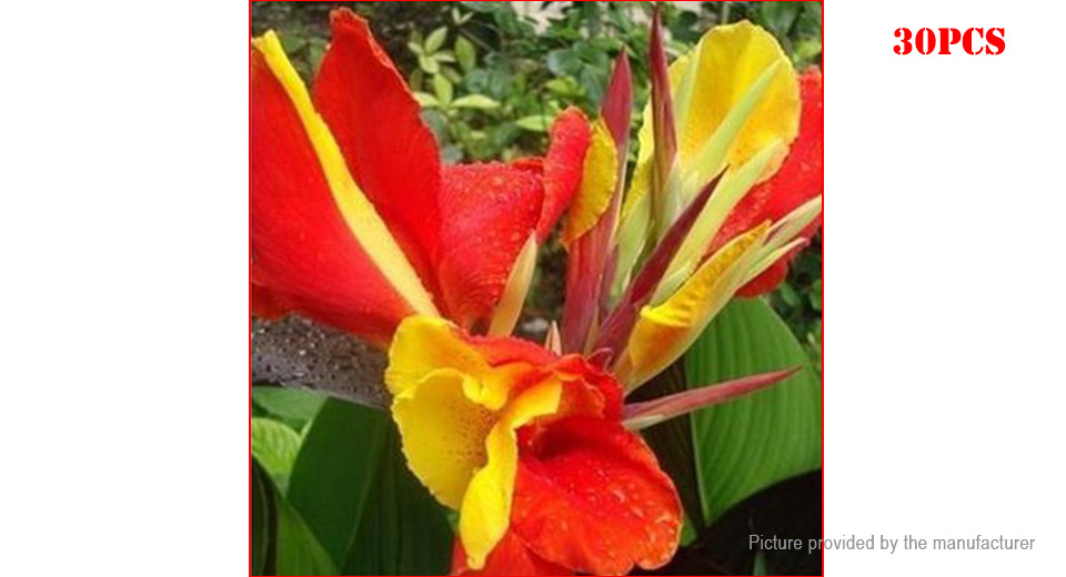188 redyellow egrow canna flower seeds home garden yard bonsai redyellow egrow canna flower seeds home garden yard bonsai plant 30 pack mightylinksfo