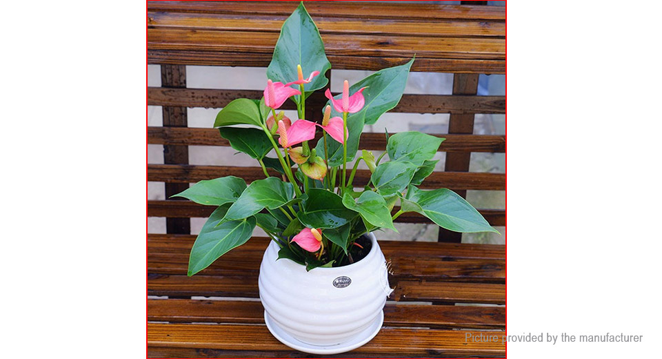 Anthurium Bonsai Potted Hydroponic Flowers Seeds Home Garden Plant (240-Pack)